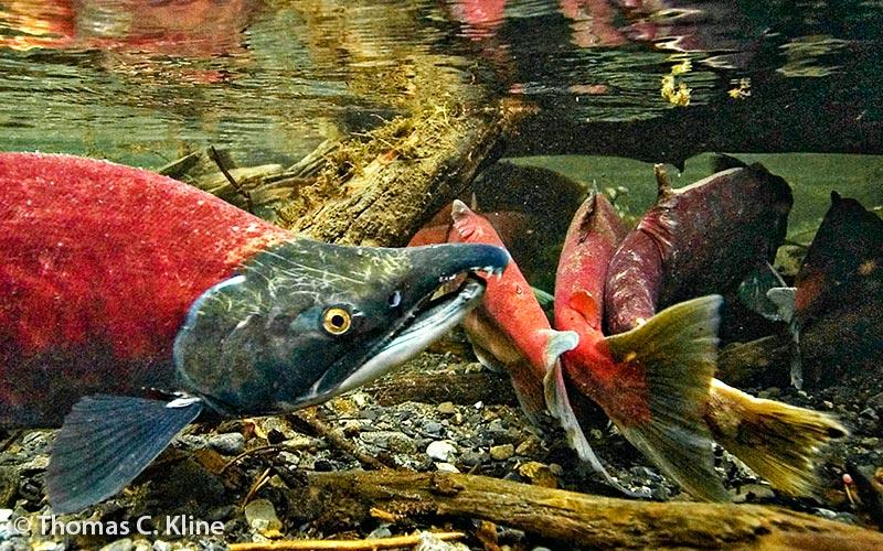 thomas-kline-salmon