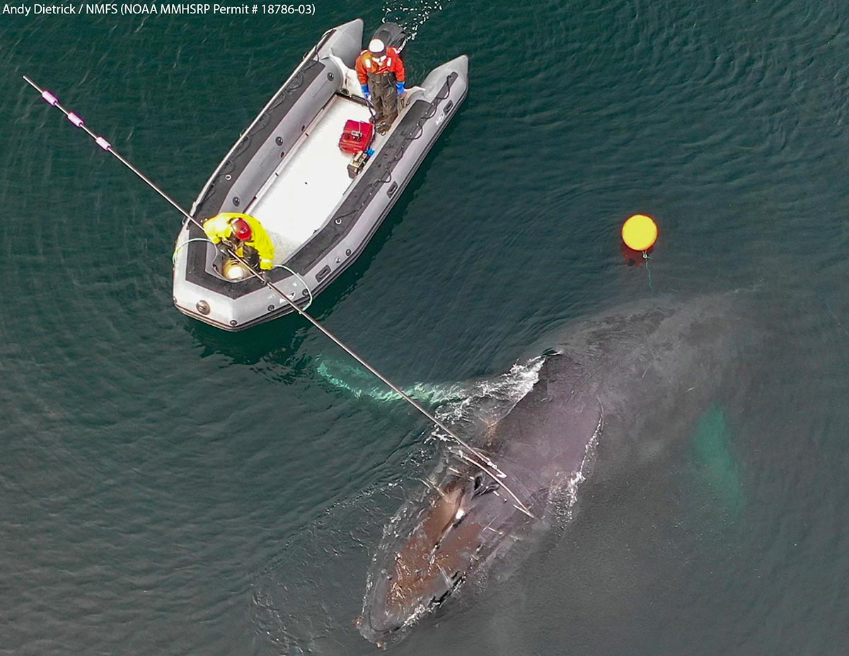 aerial view of men in raft using pole to cut line from entangled whale