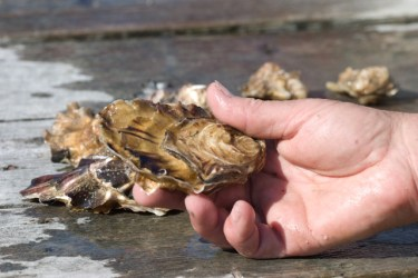 closeup of a hand holding a live oyster
