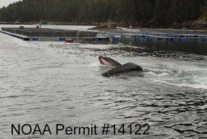 A whale mouth near net pens - NOAA permit #14122