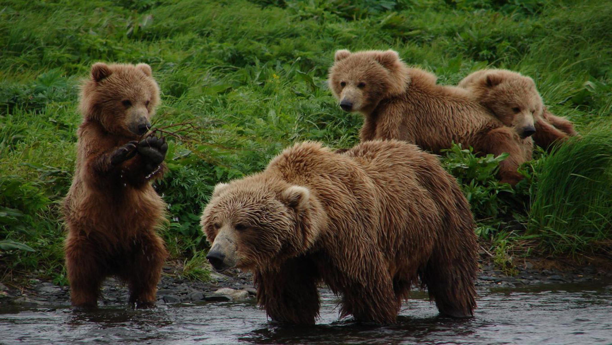 Grizzly Bears Vs Brown Bears Differences