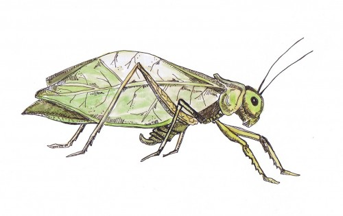 similar galleries katydid clipart katydid