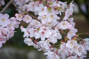 flori mai primavara cires