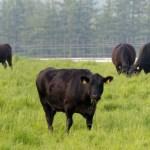 Aprobada la ayuda para ganaderos de bovino en extensivo que incluye a los de lidia dotada con 12 millones de euros
