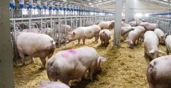 Autorizada una nueva nave en la explotación porcina de Chinchilla para dar más espacio a los animales