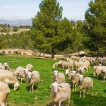 Más de 500 ganaderos de la provincia de Albacete reciben 2,5 millones de euros de las ayudas acopladas de ovino de la PAC