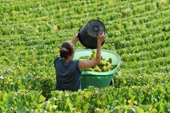 trabajar-en-la-vendimia-francesa