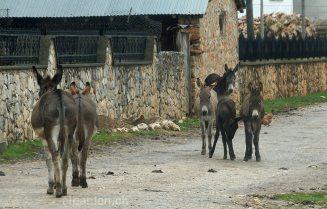 Esel in Prespa