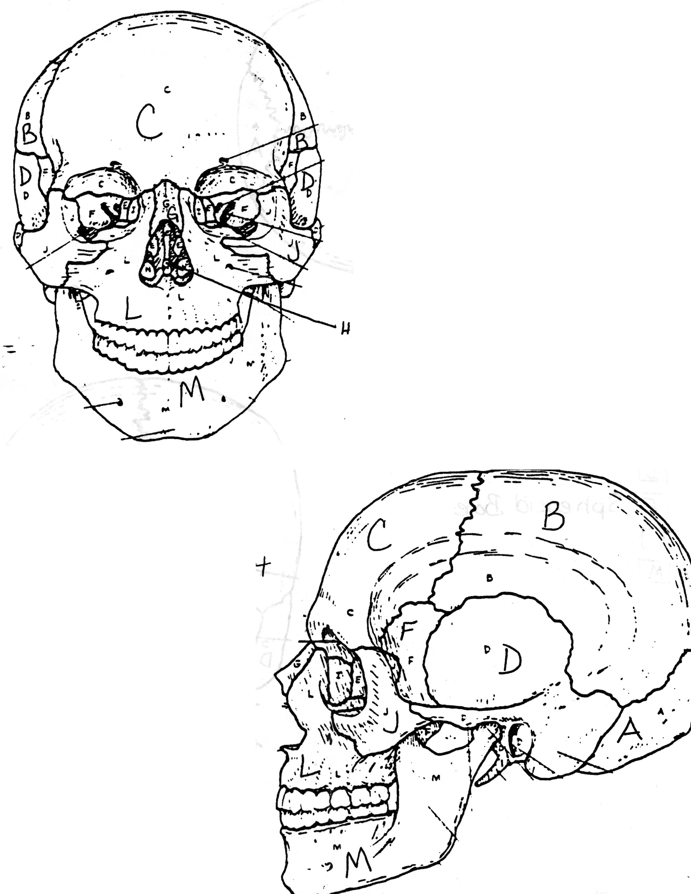Anatomy Coloring Pages Skull Human Anatomy Coloring Pages Coloringsuite