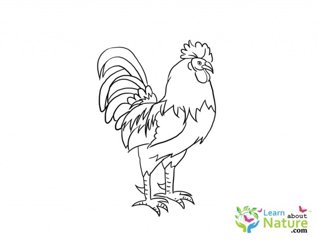 Rooster Coloring Page Rooster Coloring Page Learn About Nature