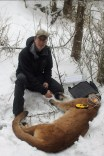 Wildlife biologist Kevin monitors an immobilized cougar