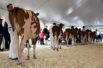 alberta dairy congress red and white holstein show