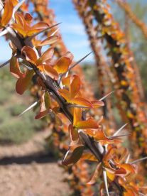Ocotillo leaves turning colour
