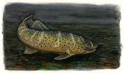 Icelandic Brown Trout at Dusk