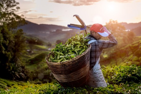 Life as a tea harvester