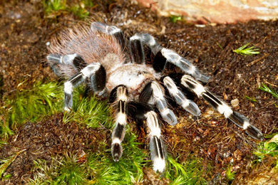 Albino Reptiles   RESEARCH ON GOLIATH BIRD EATER SPIDER According to a 2012 study out of the University of Buffalo  a particular  protein found in spider venom could work as a treatment for muscular  dystrophy     an