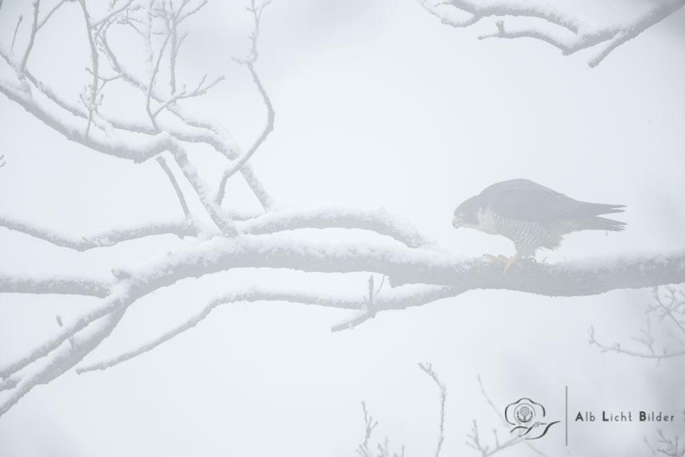 Wanderfalke im Nebel