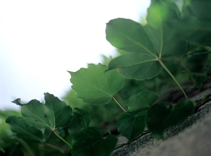 You're so vein - Fuji Velvia 50 (RVP50) shot at EI50. Color reversal (slide) film in 120 format shot as 6x4.5.