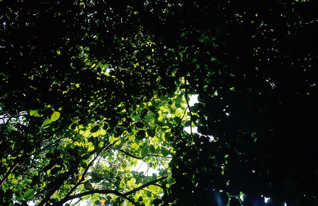 Emerald canopy - Fuji Velvia 50 (RVP50) shot at EI 50. Color reversal (slide) film in 35mm format.