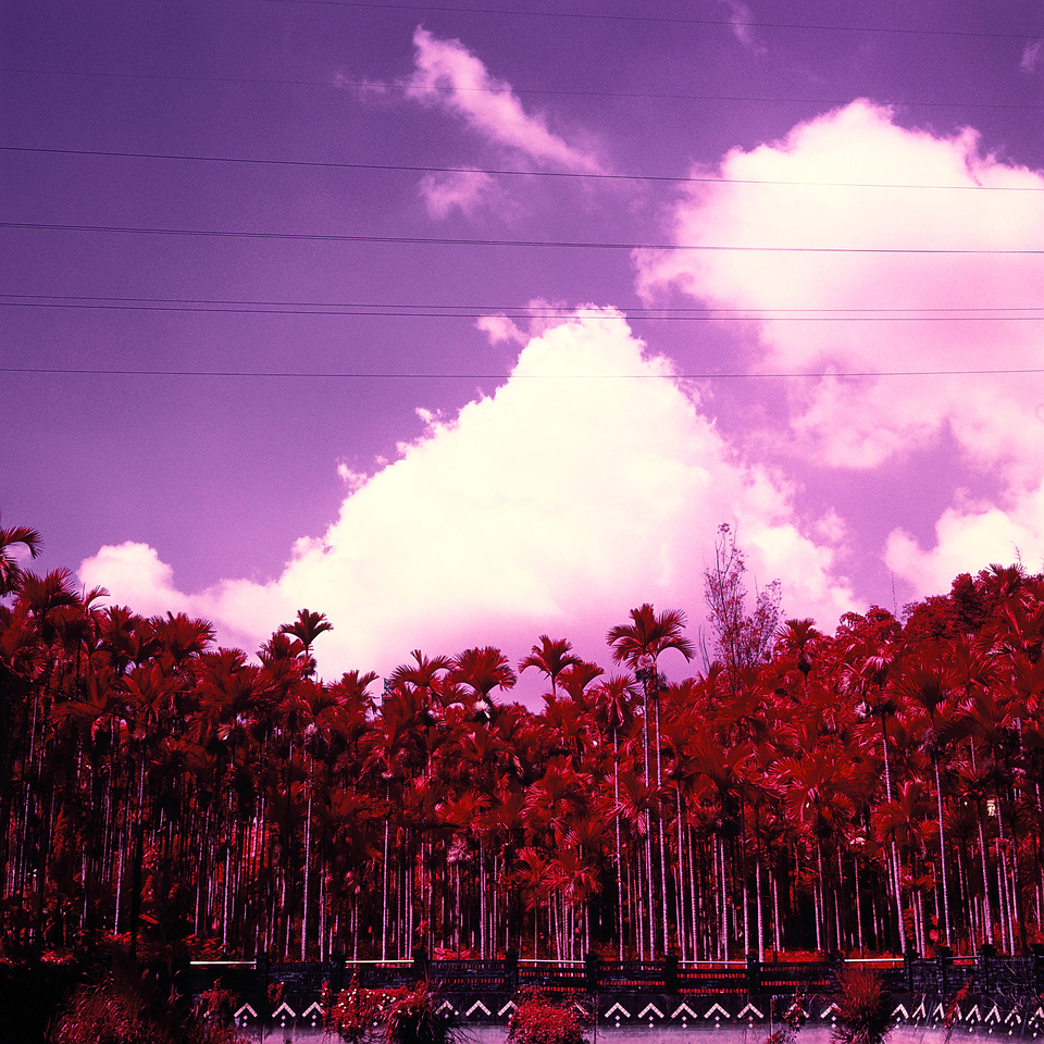 Palm grove - Shot on Kodak Aerochrome III (1443) at EI 400. Color infrared slide film in 120 format shot as 6x6. Orange #21 filter.
