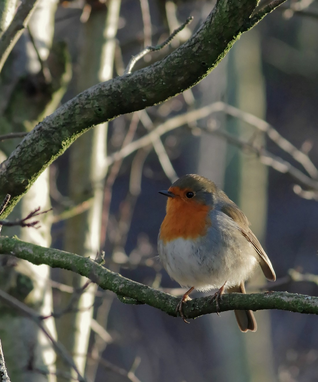 robin Water of Leith