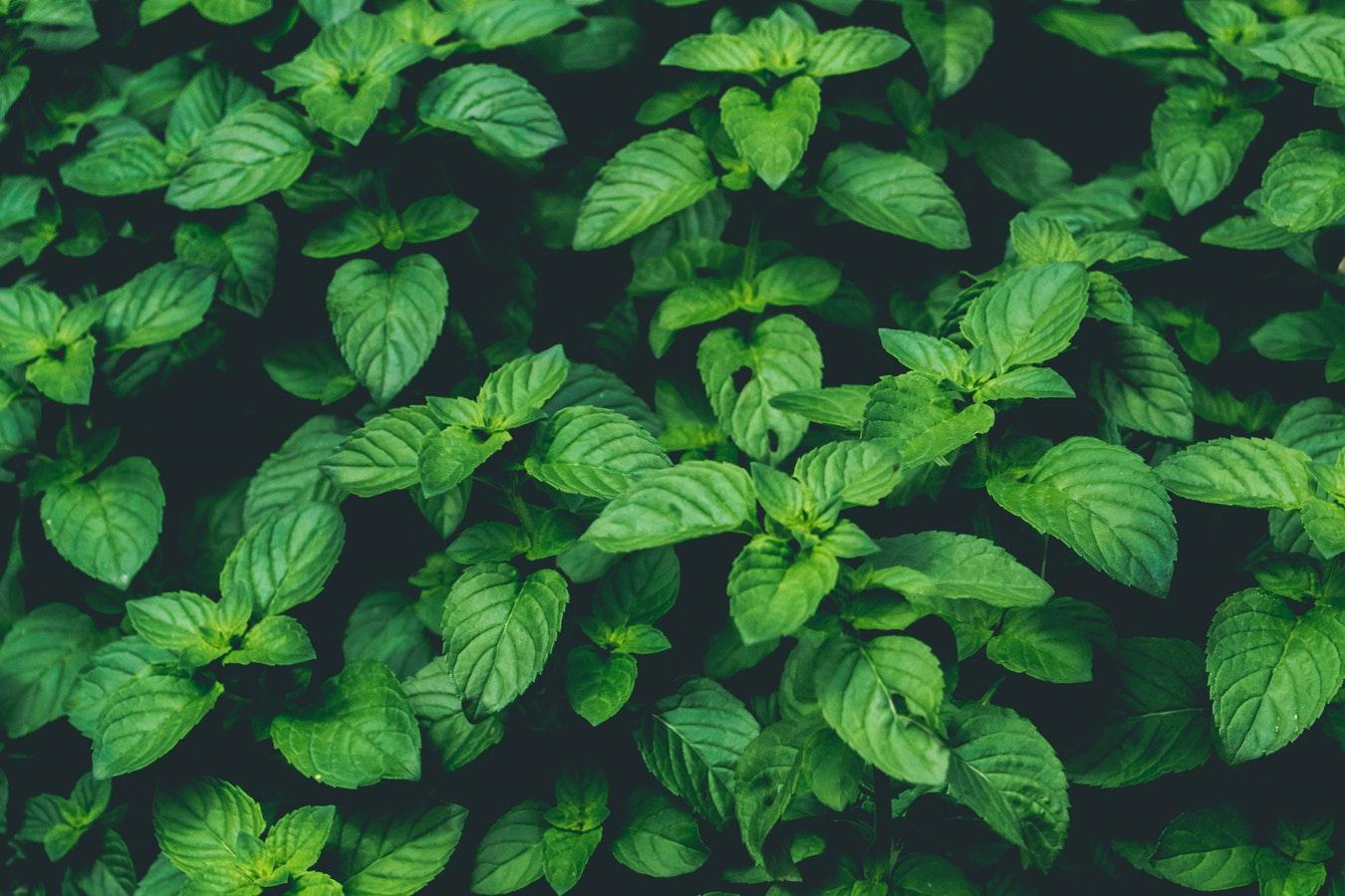 La menthe poivrée : une huile essentielle aux multiples fonctions