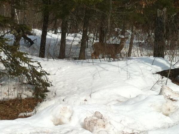 winter-stressed deer, copyright Al Cambronne
