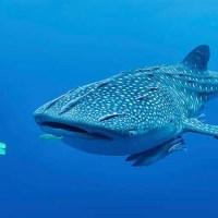 Los tiburones ballena tienen pequeñas estructuras similares a dientes alrededor de sus ojos