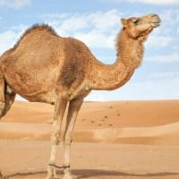 ¿Es cierto que los camellos almacenan agua en sus jorobas?