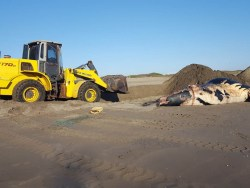 Muere ballena en playas de Bahía de Altata en Navolato, Sinaloa