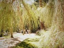 pino canario en el jardín Inglés