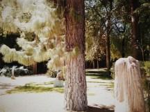 pino en el jardín Inglés del Alcázar