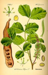 Ceratonia siliqua. Ilustración de Otto Wilhelm Thomé en Flora von Deutschland, Österreich und der Schweiz 1885, Alemania. www.biolib.de