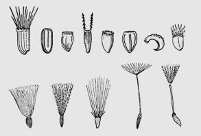 Semillas de Asteraceae