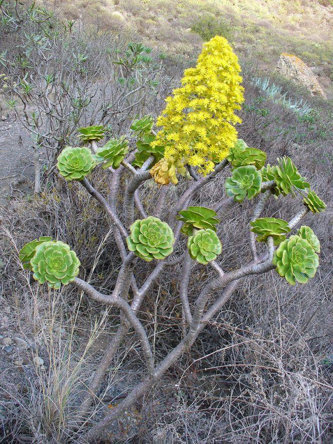 Aeonium manriqueorum en su hábitat natural. Islas canarias.