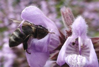 Abeja livando el nectar de una salvia en flor