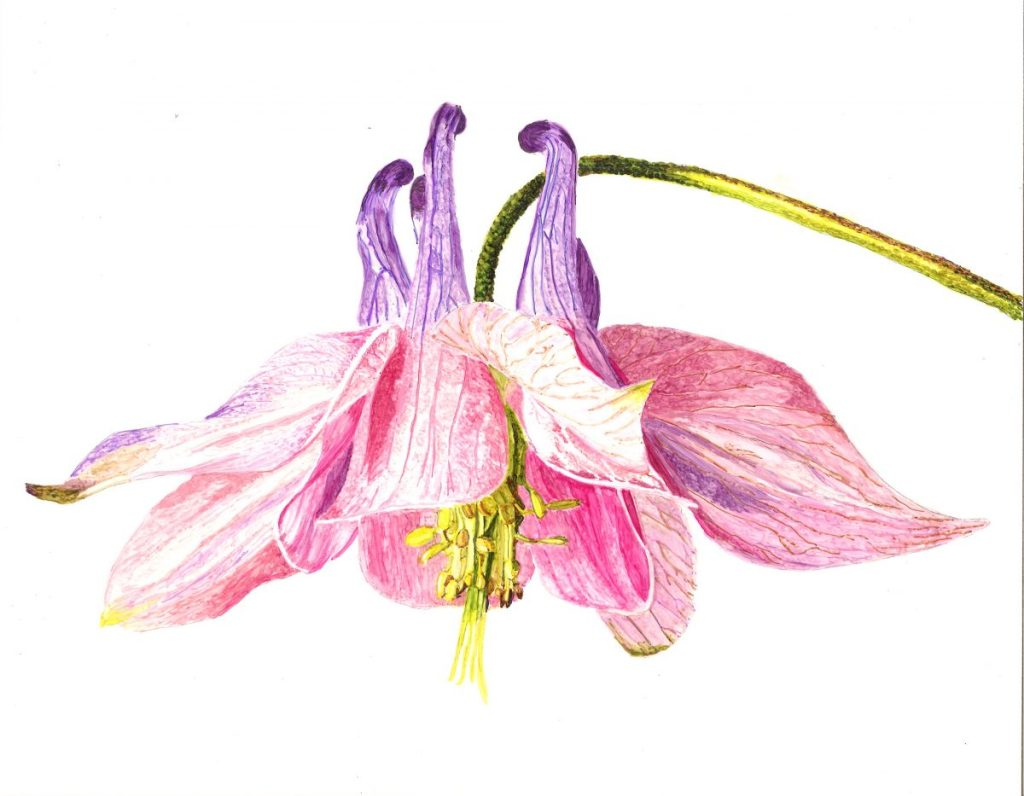 Columbine Botanical