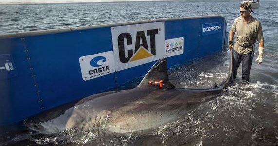 Katharine, the Great White Shark, is off Boynton Beach and swimming south