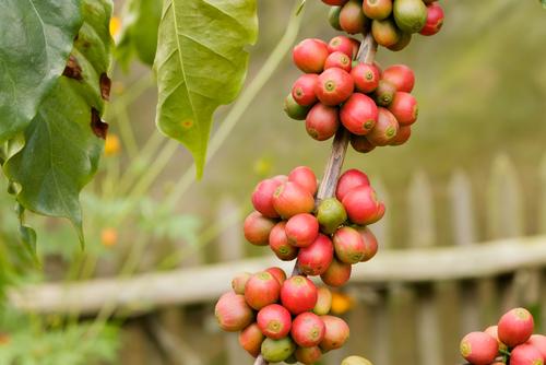 Trabajadores de la industria del café sufren violación a la ley de salario mínimo