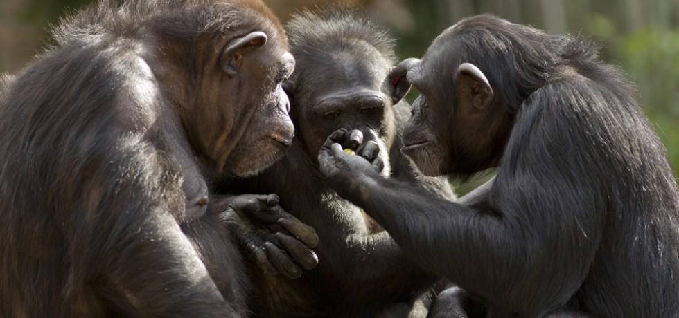 Tribunal apelativo dispone que chimpancés no tiene mismos derechos que personas