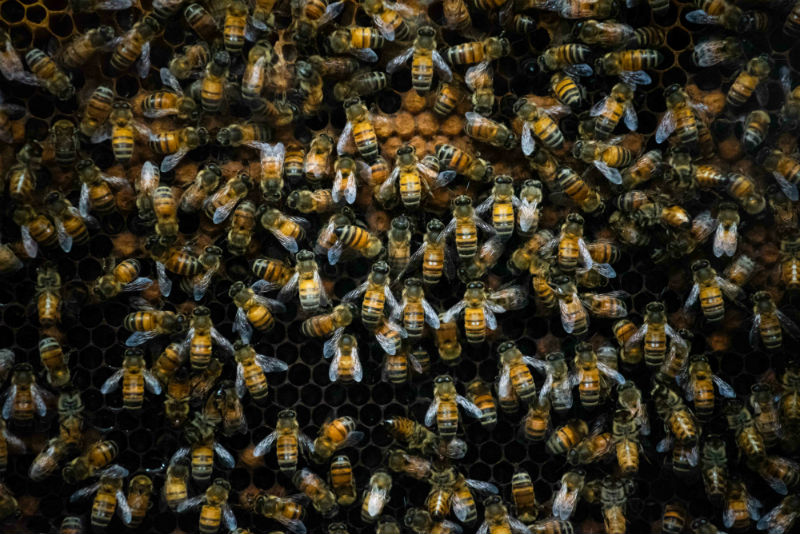 Buscan convertir a la abeja de Puerto Rico en patrimonio puertorriqueño