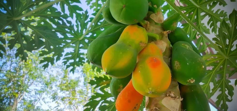 ¿$100,000 de fianza o cárcel por robar plátanos y papayas?
