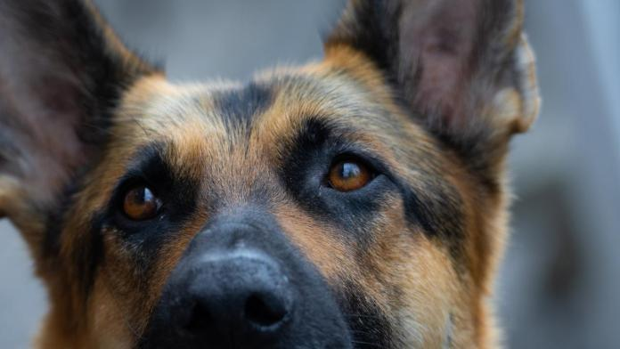Deadly dog disease spreads to South Australia