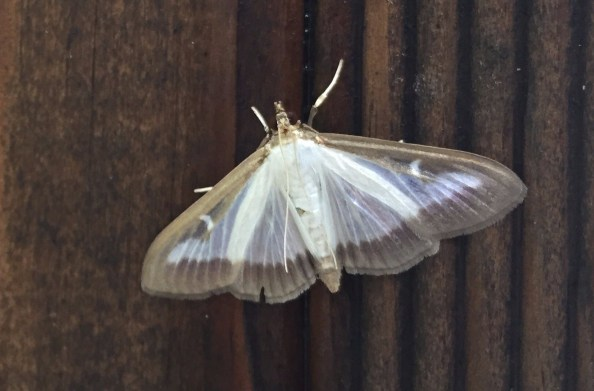 A picture of the Box Tree Moth on a piece of wooden board