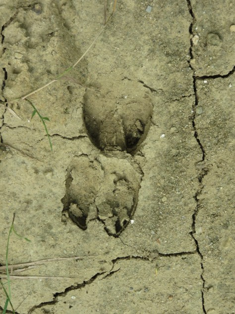 Two small animal footprints dried in the cracked mud.