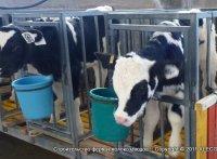 cows_06