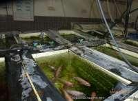 сибас выращивание