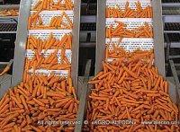 сортировка моркови, хранение овощей и фруктов
