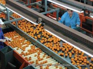 сортировка цитрусовых, хранение овощей и фруктов