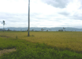 Rice farms